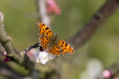 Polygonia c album Royalty Free Stock Photos