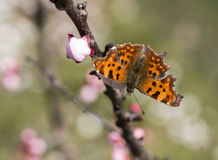 Polygonia c album Stock Photos