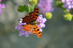 Polygonia c-album on a flower Stock Image