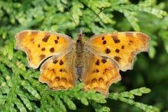 Polygonia c-album vlinder stock afbeeldingen