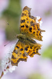 Polygonia interrogationis Royalty Free Stock Photography