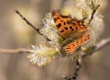 Polygoniac-album fjäril som matar på blomningar av en pil Fotografering för Bildbyråer