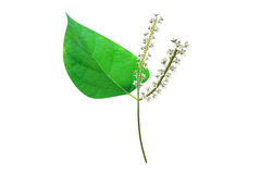 Polygonum Royalty Free Stock Photo