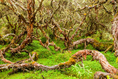 Polylepis Ancient Forest Stock Photo