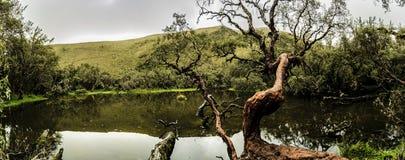 Polylepis tree near a lake royalty free stock photo
