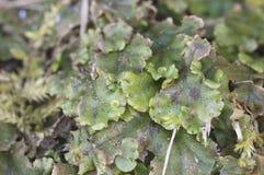 Polymorpha do Marchantia Foto de Stock Royalty Free