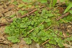Polymorpha van Marchantia Stock Foto