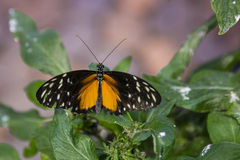 Polymorphic Longwing Butterfly Royalty Free Stock Photo