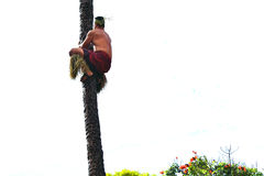 A Polynesian man climbing the coconut tree Royalty Free Stock Photos