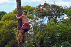 A Polynesian man climbing the coconut tree Stock Image