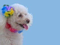 Polynesian Poodle Royalty Free Stock Photos