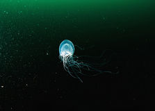 Polyochris jelly transparent underwater creature. Royalty Free Stock Images
