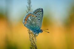 Polyommatus艾卡罗计,共同的蓝色,是在家庭灰蝶科的一只蝴蝶 美丽的蝴蝶坐刀片 免版税图库摄影