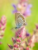 Polyommatus艾卡罗计,共同的蓝色,是在家庭灰蝶科的一只蝴蝶 美丽的蝴蝶坐花 免版税图库摄影