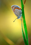 Polyommatus艾卡罗计,共同的蓝色,是在家庭灰蝶科的一只蝴蝶 美丽的蝴蝶坐花 库存图片
