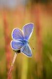 Polyommatus艾卡罗计,共同的蓝色,是在家庭灰蝶科的一只蝴蝶 美丽的蝴蝶坐花 免版税库存照片