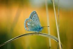 Polyommatus艾卡罗计,共同的蓝色,是在家庭灰蝶科的一只蝴蝶 美丽的蝴蝶坐花 免版税库存图片