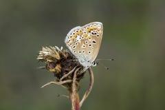 Polyommatus艾卡罗计,从下萨克森州,德国的共同的蓝色蝴蝶 免版税图库摄影