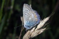 Polyommatus艾卡罗计 免版税库存图片
