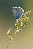 Polyommatus艾卡罗计 库存图片