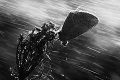 Polyommatus艾卡罗计 免版税库存照片
