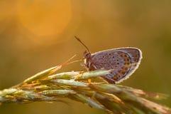 Polyommatus Ícaro Fotografia de Stock