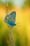 Polyommatus Ícaro, azul común, es una mariposa en el Lycaenidae de la familia Mariposa hermosa que se sienta en la flor Imagen de archivo
