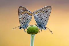 Polyommatus Ícaro Rott. Amor de la mariposa Fotos de archivo