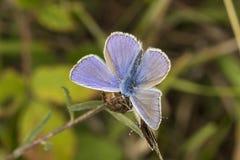 Polyommatus Ίκαρος, κοινή μπλε πεταλούδα από τη χαμηλότερη Σαξωνία, Γερμανία Στοκ εικόνες με δικαίωμα ελεύθερης χρήσης