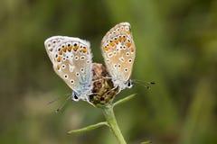 Polyommatus Ίκαρος, κοινή μπλε πεταλούδα από τη χαμηλότερη Σαξωνία, Γερμανία Στοκ Φωτογραφία