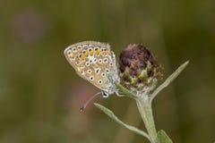 Polyommatus Ίκαρος, κοινή μπλε πεταλούδα από τη χαμηλότερη Σαξωνία, Γερμανία Στοκ Φωτογραφίες
