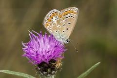Polyommatus Ίκαρος, κοινή μπλε πεταλούδα από τη χαμηλότερη Σαξωνία, Γερμανία Στοκ Εικόνα