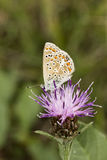 Polyommatus Ίκαρος, κοινή μπλε πεταλούδα από τη χαμηλότερη Σαξωνία, Γερμανία Στοκ Εικόνες