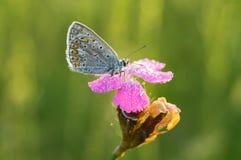 Polyommatus Ίκαρος Στοκ φωτογραφίες με δικαίωμα ελεύθερης χρήσης