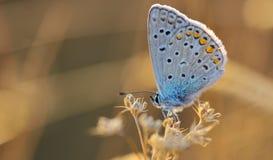 Polyommatus Икар бабочки внешнее Стоковые Фотографии RF