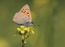 蝴蝶Polyommatus agestis 免版税图库摄影