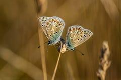 Polyommatus azul común Ícaro de dos mariposas que descansa sobre GR fotografía de archivo