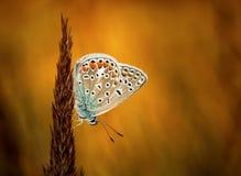 Polyommatus bellargus,亚多尼斯蓝色,是在家庭灰蝶科的一只蝴蝶 美丽的蝴蝶坐刀片 免版税库存照片