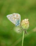 Polyommatus bellargus,亚多尼斯蓝色,是在家庭灰蝶科的一只蝴蝶 美丽的蝴蝶坐花 库存照片