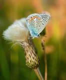 Polyommatus bellargus,亚多尼斯蓝色,是在家庭灰蝶科的一只蝴蝶 美丽的蝴蝶坐花 免版税库存照片