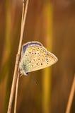 Polyommatus bellargus,亚多尼斯蓝色,是在家庭灰蝶科的一只蝴蝶 美丽的蝴蝶坐草 免版税库存图片