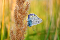 Polyommatus bellargus,亚多尼斯蓝色,是在家庭灰蝶科的一只蝴蝶 美丽的蝴蝶坐词根 免版税库存图片