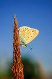 Polyommatus bellargus,亚多尼斯蓝色,是在家庭灰蝶科的一只蝴蝶 美丽的蝴蝶坐词根 免版税库存照片