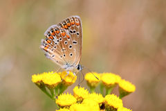 Polyommatus bellargus,亚多尼斯蓝色,是在家庭灰蝶科的一只蝴蝶 美丽的蝴蝶坐词根 免版税图库摄影