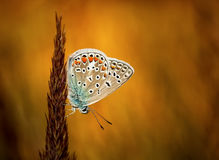 Polyommatus-bellargus, Adonis Blue, ist ein Schmetterling im Familie Lycaenidae Schöner Schmetterling, der auf Blatt sitzt Lizenzfreies Stockfoto