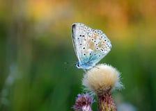 Polyommatus-bellargus, Adonis Blue, ist ein Schmetterling im Familie Lycaenidae Schöner Schmetterling, der auf Blume sitzt Lizenzfreie Stockfotos