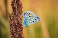 Polyommatus-bellargus, Adonis Blue, ist ein Schmetterling im Familie Lycaenidae Schöner Schmetterling, der auf Stamm sitzt Lizenzfreies Stockfoto