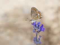 Polyommatus-bellargus Blauer Schmetterling Adonic auf Lavendelblume Lizenzfreie Stockfotografie