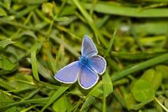 polyommatus comune di Icaro dell'azzurro Immagine Stock Libera da Diritti