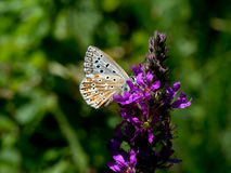 Chalkhill blue butterfly on flower. Stock Photography